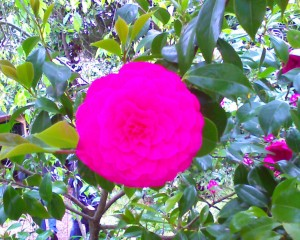 Perfect Camellia
