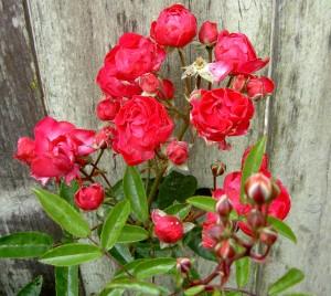 Back Fence Roses