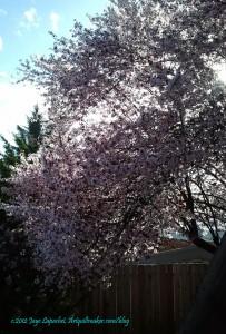 Auburn Flowering Tree