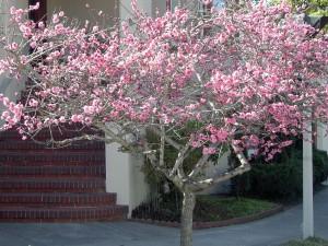 2009 Cherry tree