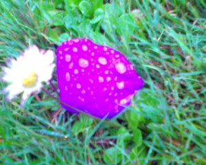 Purple Petal in the Rain
