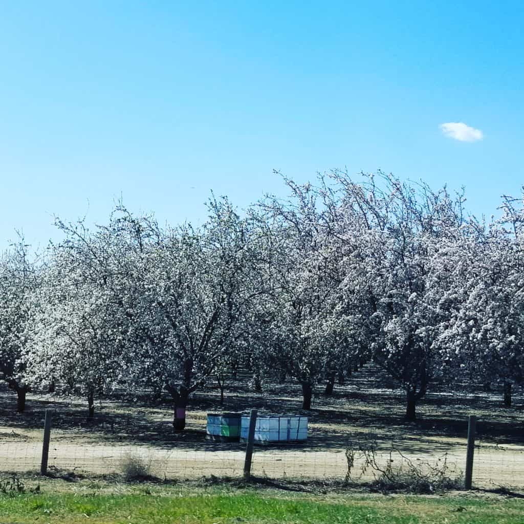 Almond Trees off I-5