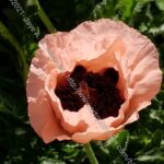 Pioneer Quilts: poppy